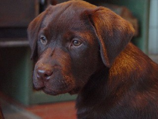 Chocolate Labrador Howkeye