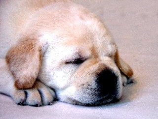 Sleeping Yellow Puppy